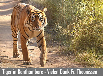 Tiger im Ranthambore Nationalpark