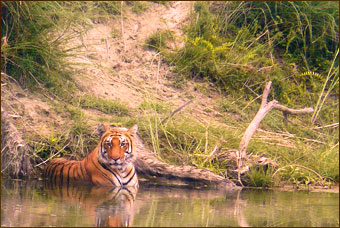 Tiger im Bardia Nationalpark