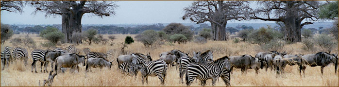 Zebras & Gnus im Lake Manyara Nationalpark