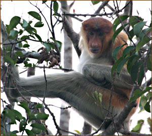 Long Nose Monkey Kalimantan