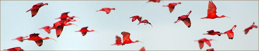 Rote Ibisse Scarlet Ibis in den Caroni Swamps von Trinidad