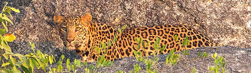 Leoparden im Bera Nationalpark