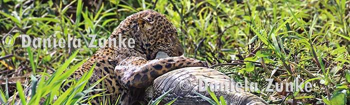 Jaguar im Pantanal Nationalpark