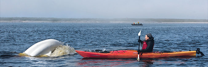 Kayaktour mit Belugas in Churchill